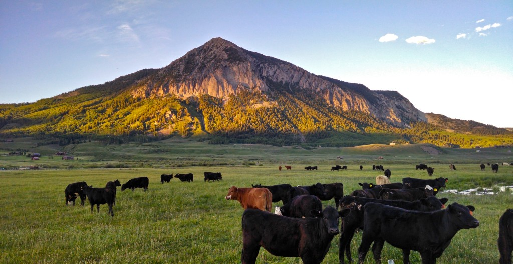 Crested Butte Cattle
